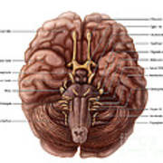 Brain And Cranial Nerves Poster