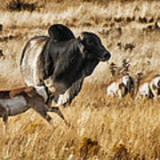 Brahma Bull Meets The Pronghorn Poster