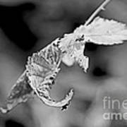 Bramble Leaves - Black And White Poster