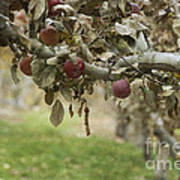 Branch Of An Apple Tree Poster by Juli Scalzi