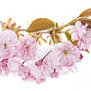 Branch With Cherry Blossoms Poster by Elena Elisseeva