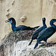 Brandts Cormorant Nesting On Cliff Poster