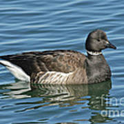 Brant On Calm Water Poster