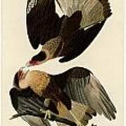 Brasilian Caracara Eagle Poster
