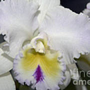 Brassocattleya Orchid 5292 Poster
