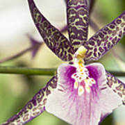 Bratonia Miltassia Charles M Fitch Izumi Orchid Hawaii  Poster