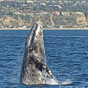 Breaching Gray Whale Poster