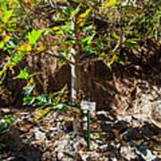 Breadfruit Tree Poster
