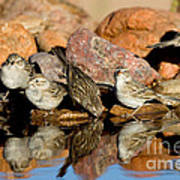 Brewers Sparrows At Waterhole Poster