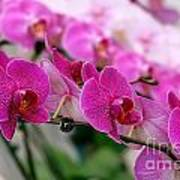 Bright And Purple Butterfly Orchids Poster