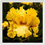 Bright Bright Spring Yellow Iris Flower Fine Art Photography Print  Poster