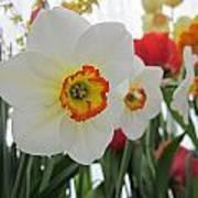 Bright Daffodils Poster