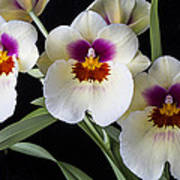 Bright Miltonia Orchids Poster