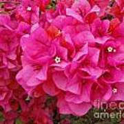 Bright Pink Bougainvillea Flowers Poster