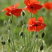 Bright Poppies 1 Poster