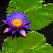 Bright Purple Water Lilly Poster