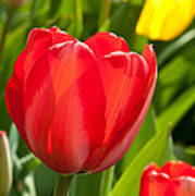 Bright Red Tulip Poster