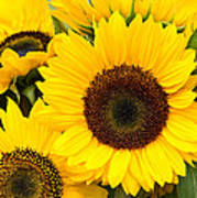 Bright Sunflower Blossoms Poster