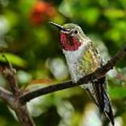 Brilliant Color Of The Ruby-throated Hummingbird Poster