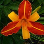 Brilliant Orange Lily Poster