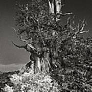 Bristlecone And Wildflowers In Black And White Poster