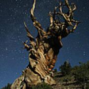 Bristlecone By Moonlight Poster by Karen Lindquist