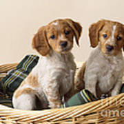 Brittany Dog Puppies In Basket Poster