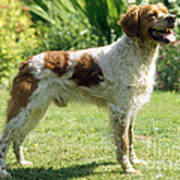 Brittany Dog, Standing Side Poster