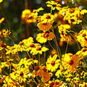 Brittle Bush In Bloom  Poster