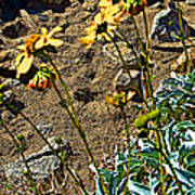 Brittlebush On Borrego Palm Canyon Trail In Anza-borrego Desert Sp-ca Poster