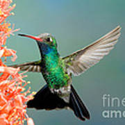 Broad-billed Hummingbird At Ocotillo Poster