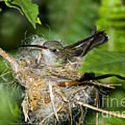 Broad-billed Hummingbird In Nest Poster