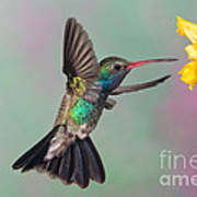 Broad-billed Hummingbird Poster by Jim Zipp