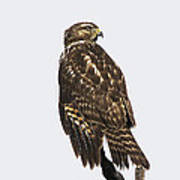 Broad Tailed Hawk Poster