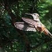 Broad-tailed Hummingbird Poster