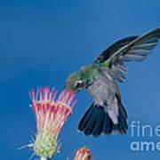 Broadbill Hummingbird Feeding At Flower Poster