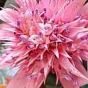 Bromeliad Close Up Pink Poster