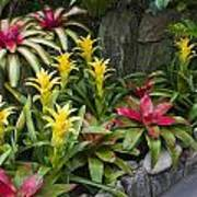 Bromeliads Poster