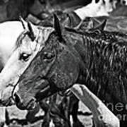 Bronc Buddies In Black And White Poster
