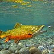 Brook Trout And Coachman Wet Fly Poster