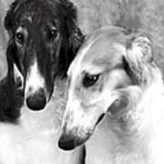 Brother And Sister Borzoi  Poster by Maxine Bochnia