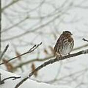Brown And White Speckled Bird On Snowy Limb Poster