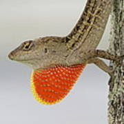 Brown Anole II Poster