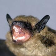 Brown Bat Eptesicus Fuscus Poster