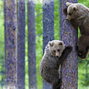 Brown Bear Climbing Lesson Poster
