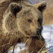 Brown Bear Eating Dry Grasses Poster