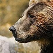 Brown Bear Golden Morning Poster