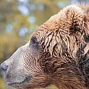Brown Bear Portrait In Autumn Poster