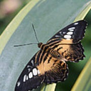 Brown Clipper Butterfly #4 Poster