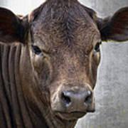 Brown Eyed Boy - Calf Portrait Poster